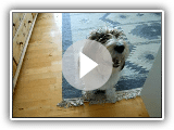 petit basset griffon vendeen (Jasper) video_2
