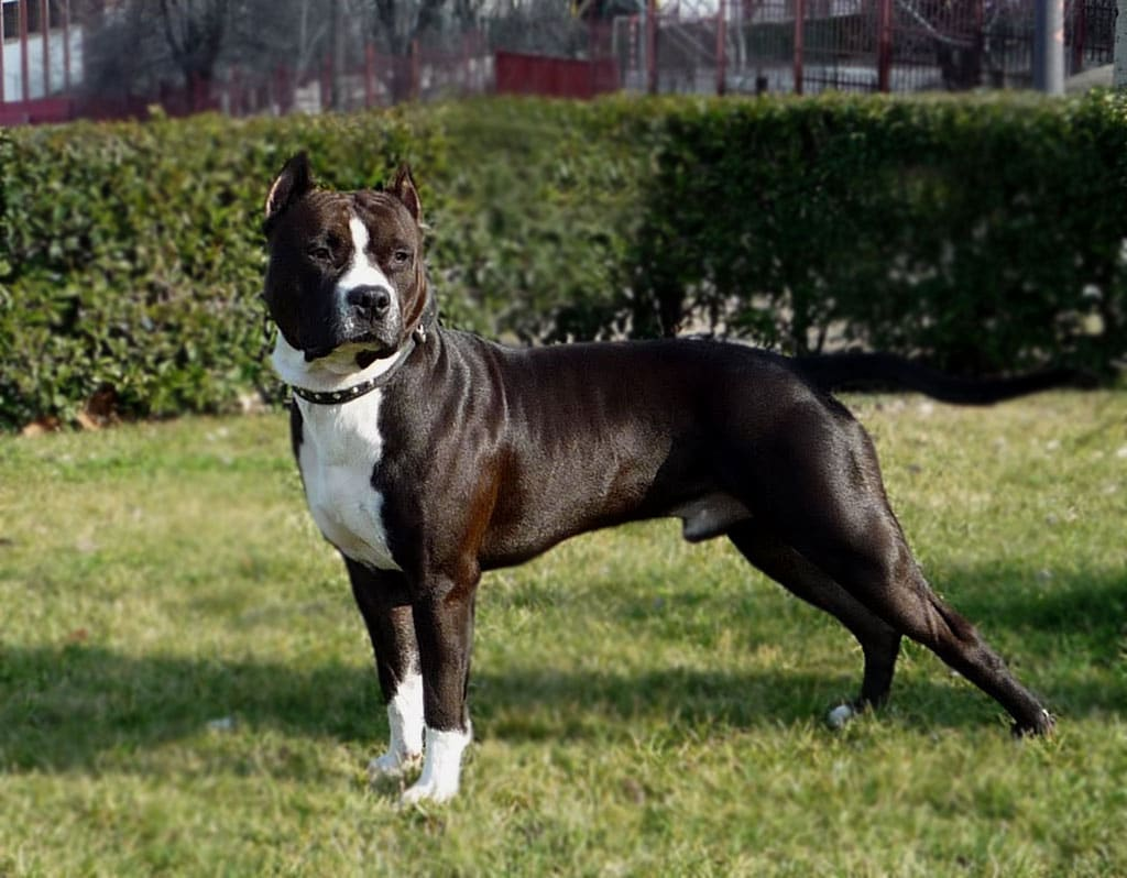 Criadores de American Staffordshire Terrier