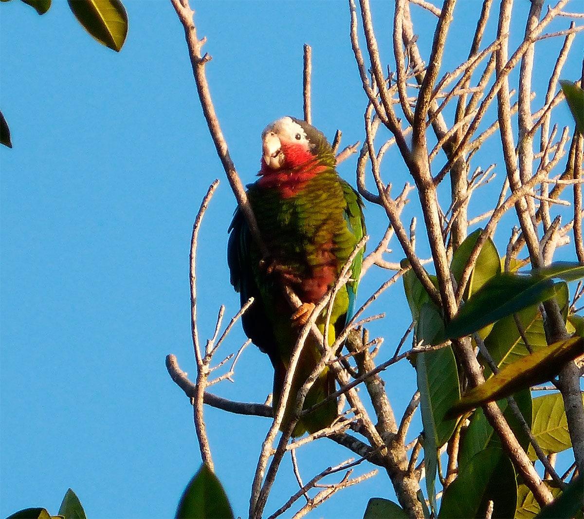 Amazona Cubana