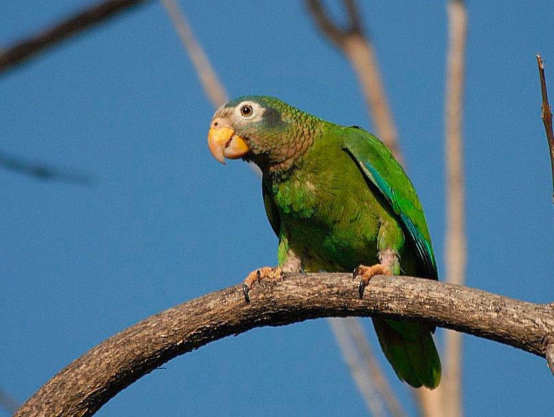 Amazona Jamaicana Piquiclara