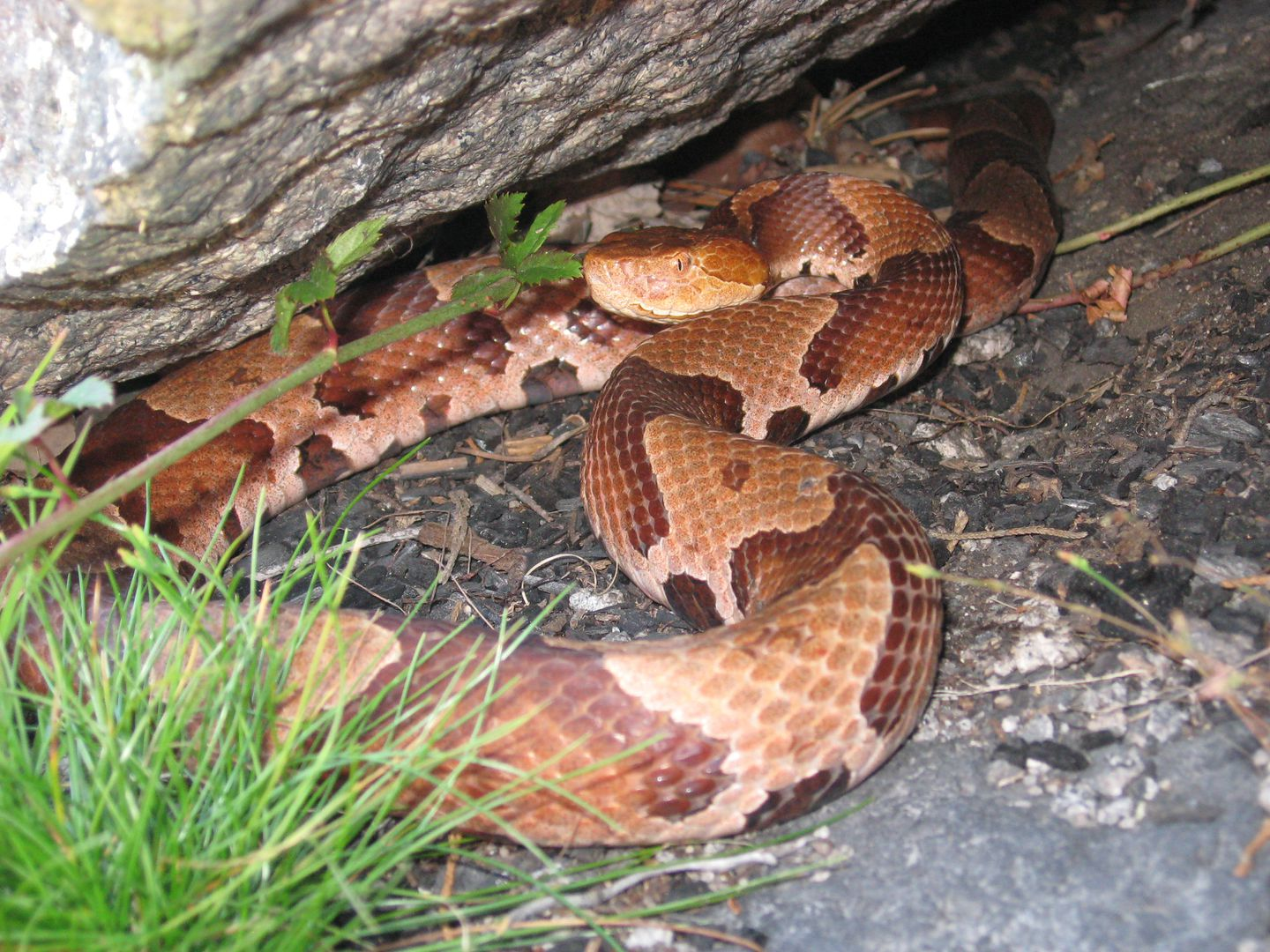 Endangered copperheads make home in Blue Hills - The ...