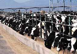 factory farm cattle