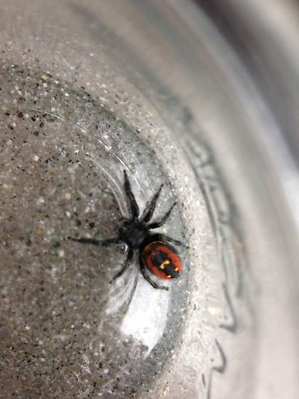 Spider Markings Back