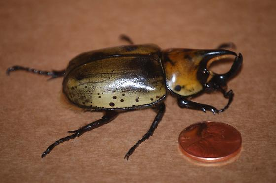 Black Beetle Pinchers And Horn