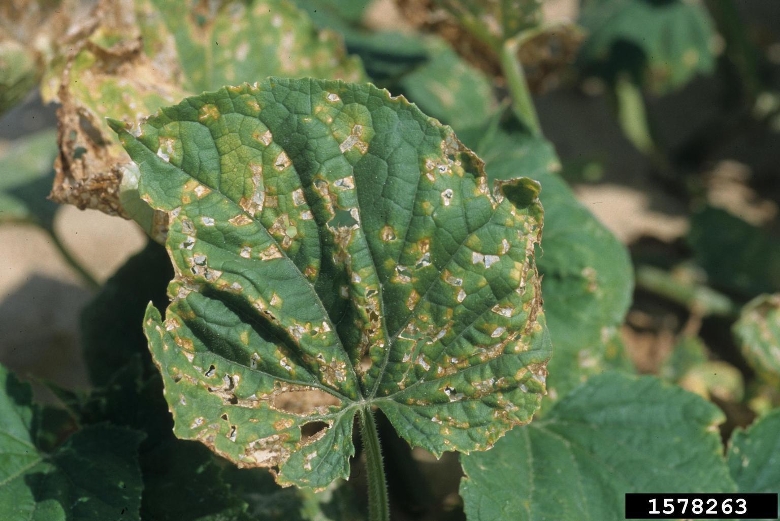 Angular Leaf Spot Of Cucumber Pseudomonas Syringae Pv