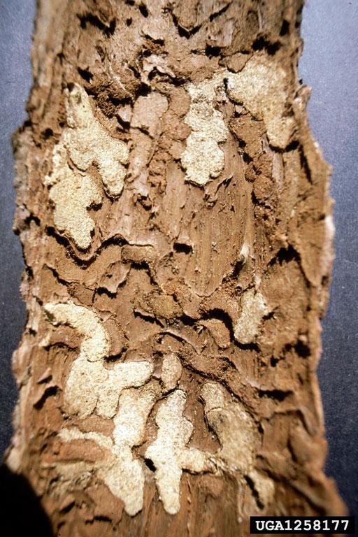 Larch Longhorn Beetle Tetropium Gabrieli Coleoptera