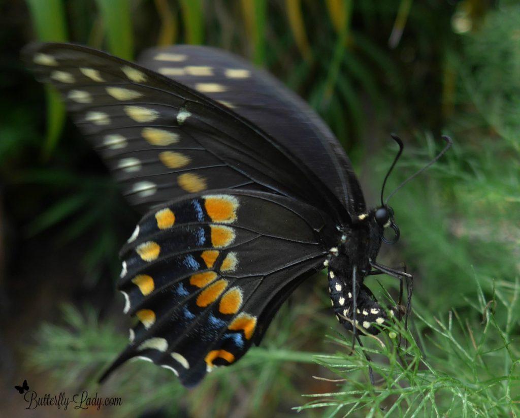 Raising Black Swallowtail Butterflies for Fun | Butterfly Lady