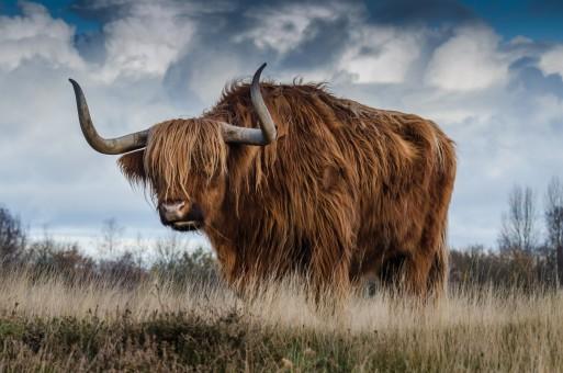 Bull Horn Eat Dog