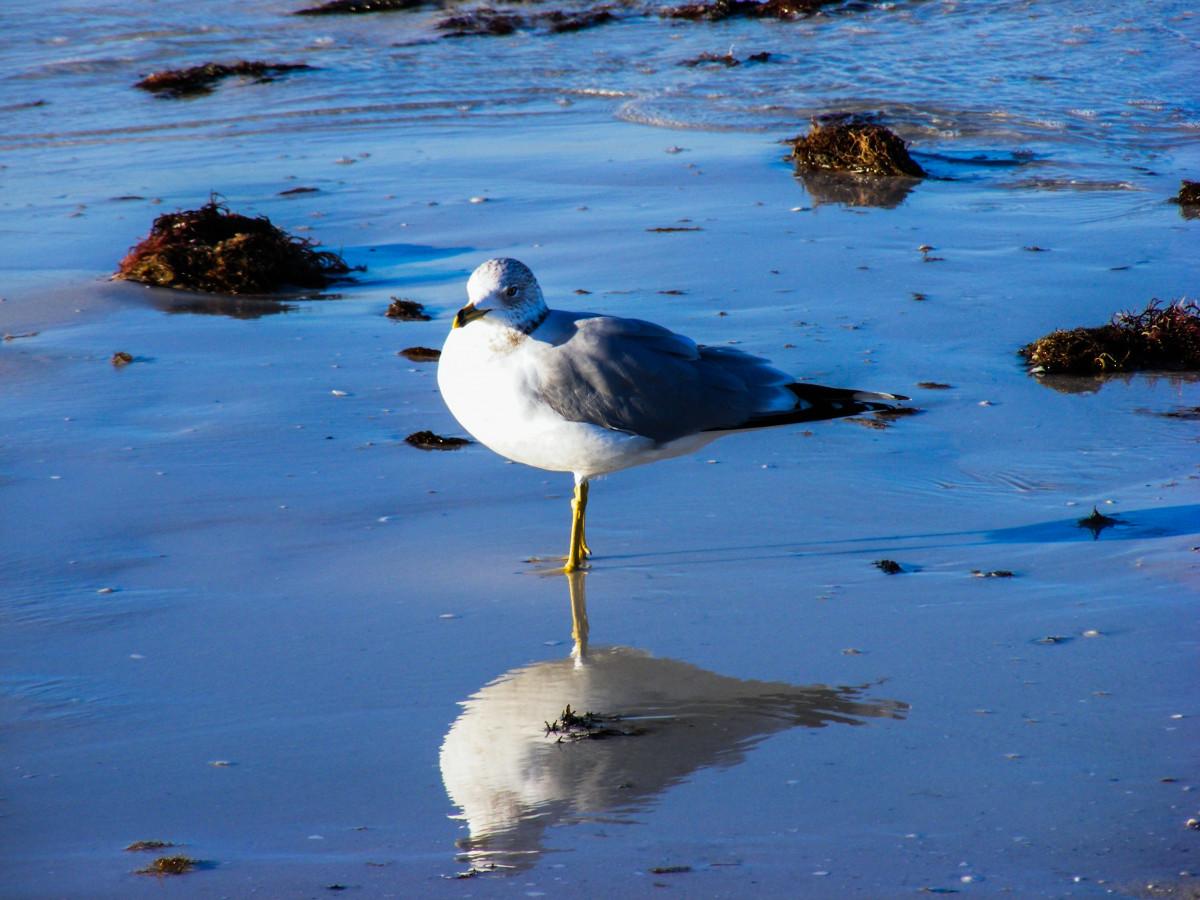 Ring Billed Florida Gull Gull