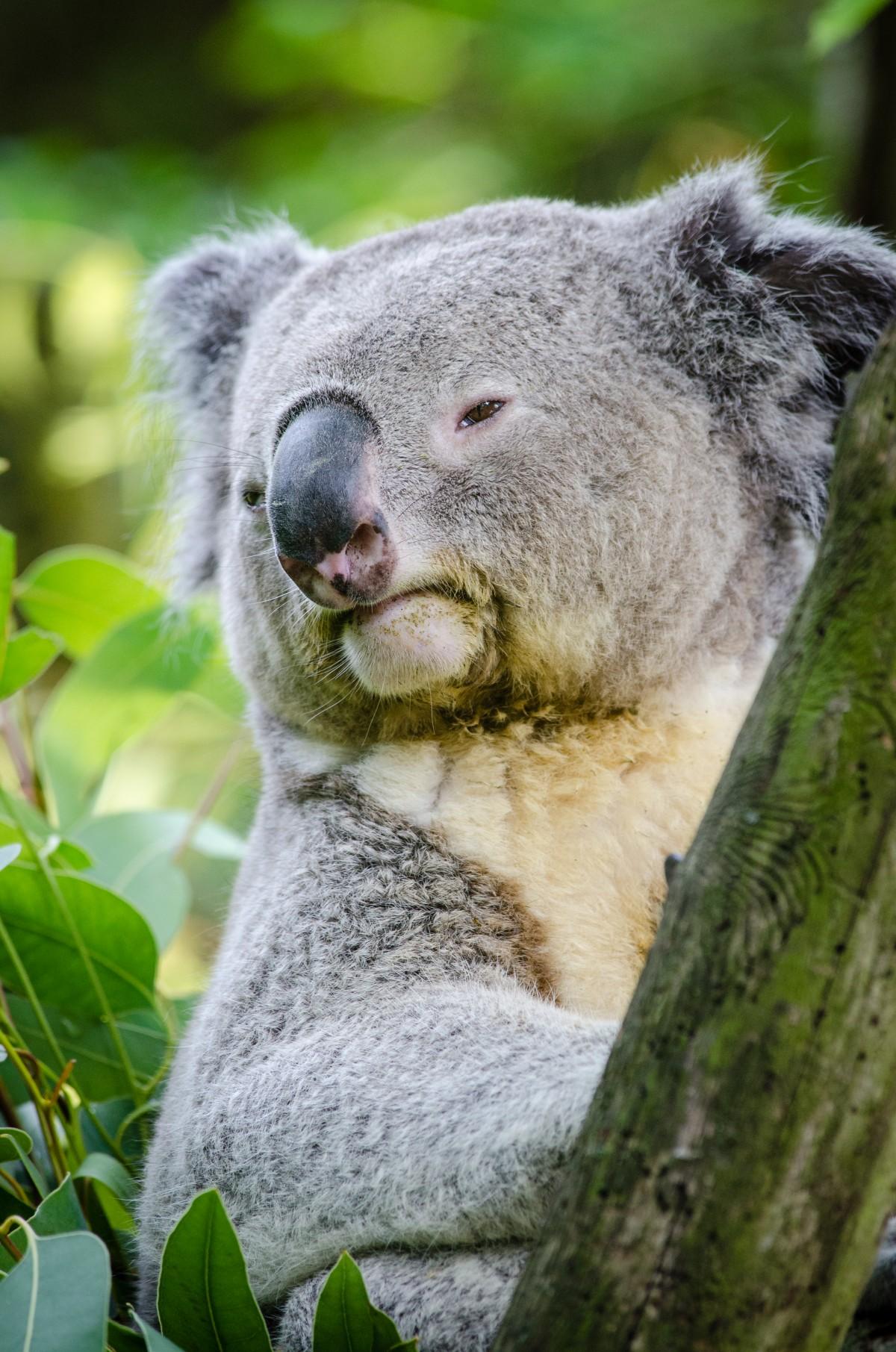 smiling koala picture - HD1200×1811