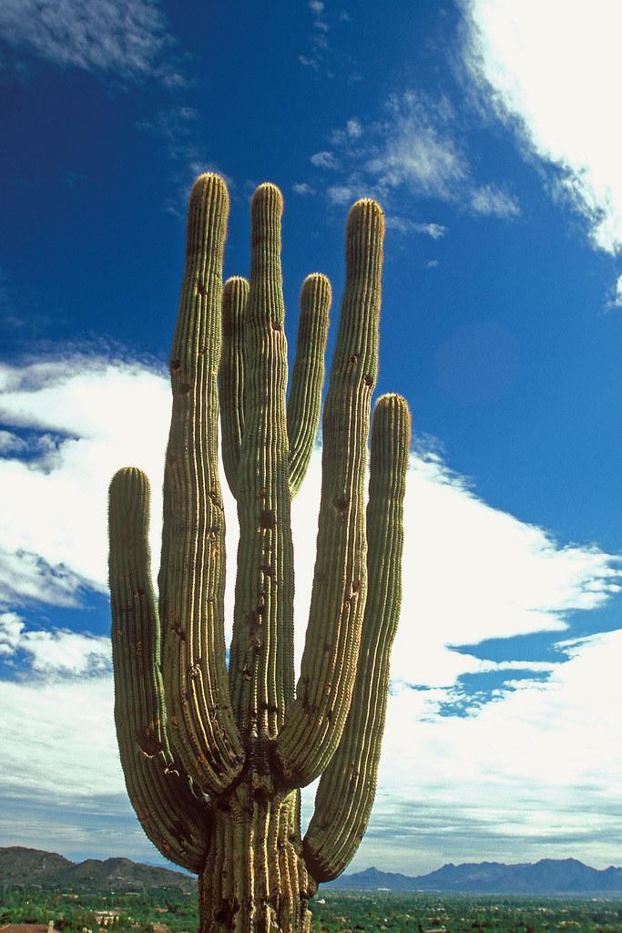 Saguaro Cactus At Camelback Mountain Phoenix Arizona U