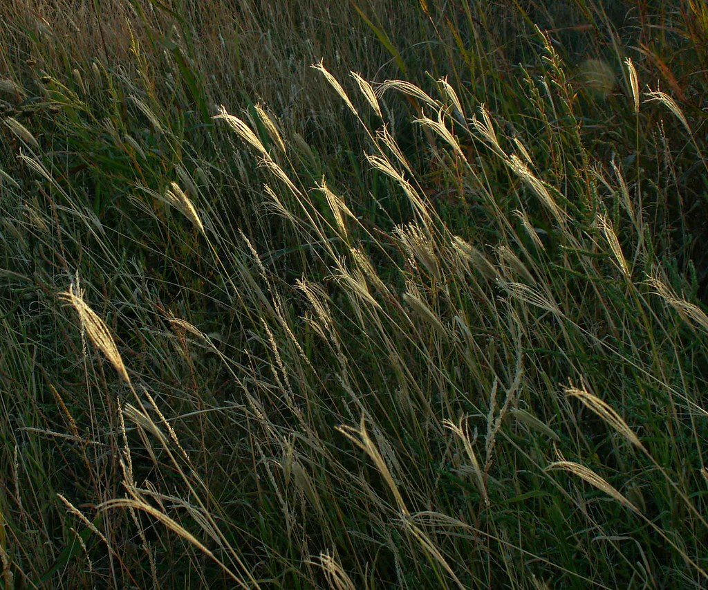 Roadside Prairie Grass Texas Late Afternoon Light With