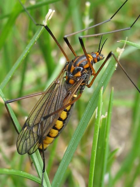 Tipule Tigr 233 E Tiger Crane Fly Genus Nephrotoma Tipule