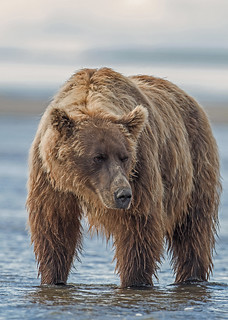 Waiting | This coastal brown bear was patiently waiting ...