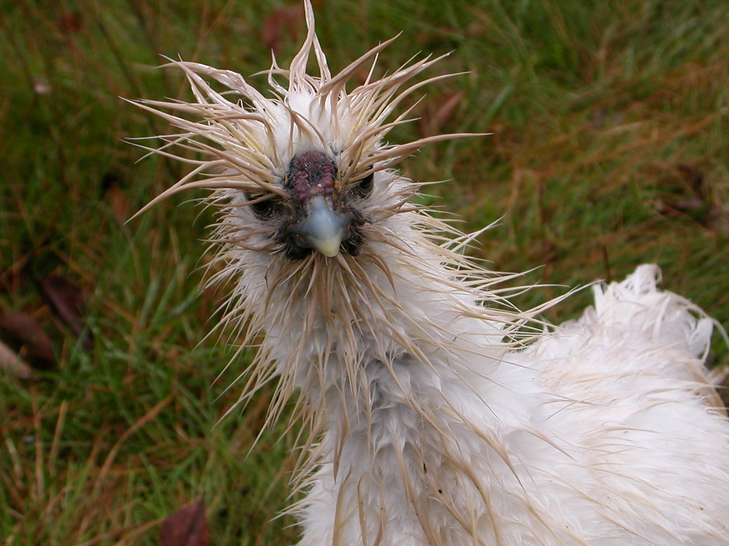 angry as a wet chicken | shassinger | Flickr