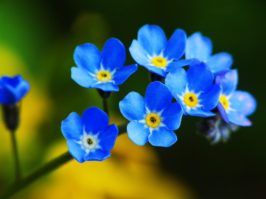 Forget Me Not   A little sprig of forget me nots  Treated wi      Flickr     Forget Me Not   by Balakov