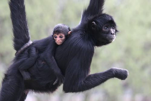 Just Hanging Around Spider Monkey Reston Zoo 6 Of 7