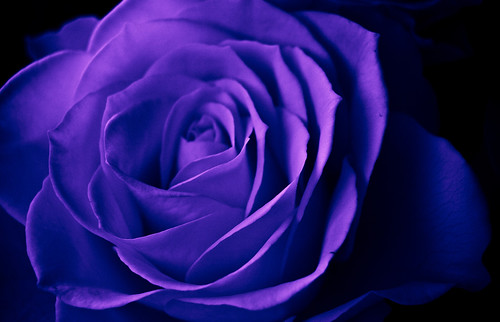 Violet Blue Rose Nothing Amazing Just Fun Kevin