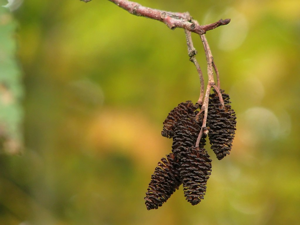 Red Alder Female Catkins In Autumn From Wikipedia Quot Red