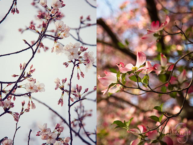 Cherry Blossom Vs Dogwood Follow Twitter Subscribe To