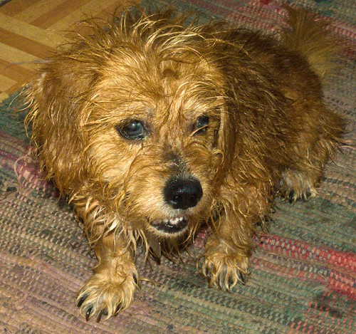Bath Day Worries | Angry wet dog | Warchild | Flickr