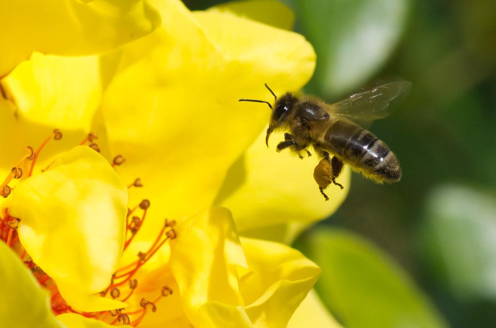 Abeille Abeille En Vol Flying Bee Jean Rapha 235 L