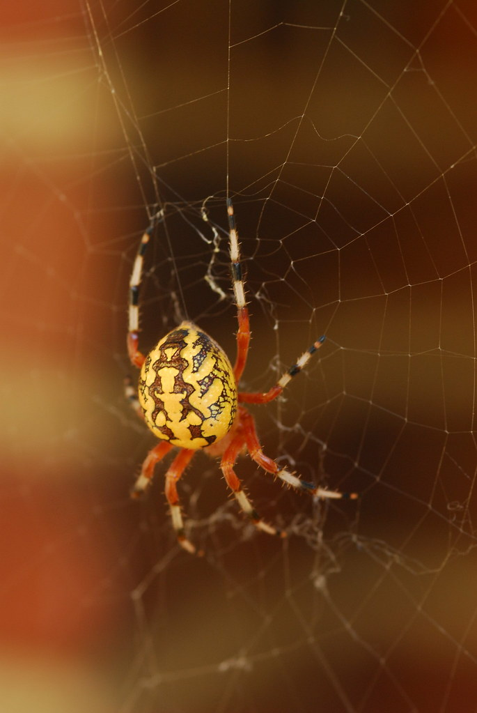 Marbled Orb Weaver Spider I Found This Lovely Spider In