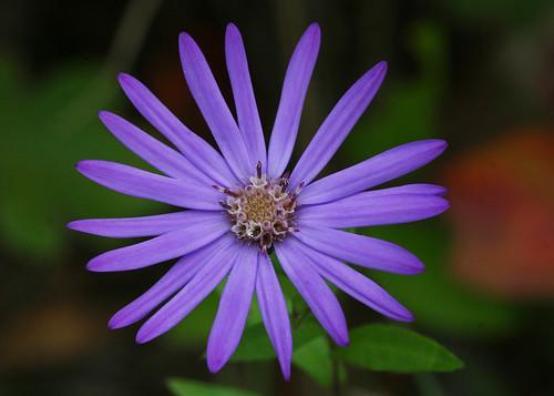 Georgia Aster Symphyotrichum Georgianum Waxhaw Nc Flickr