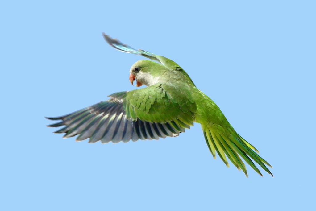 Monk Parakeet In The Wild Monk Parakeet At White Rock