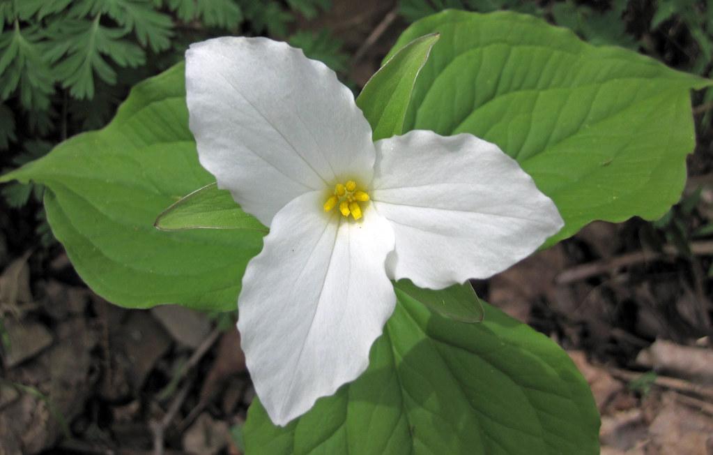 Trillium Grandiflorum White Trillium Rock Cut Muskingu Flickr