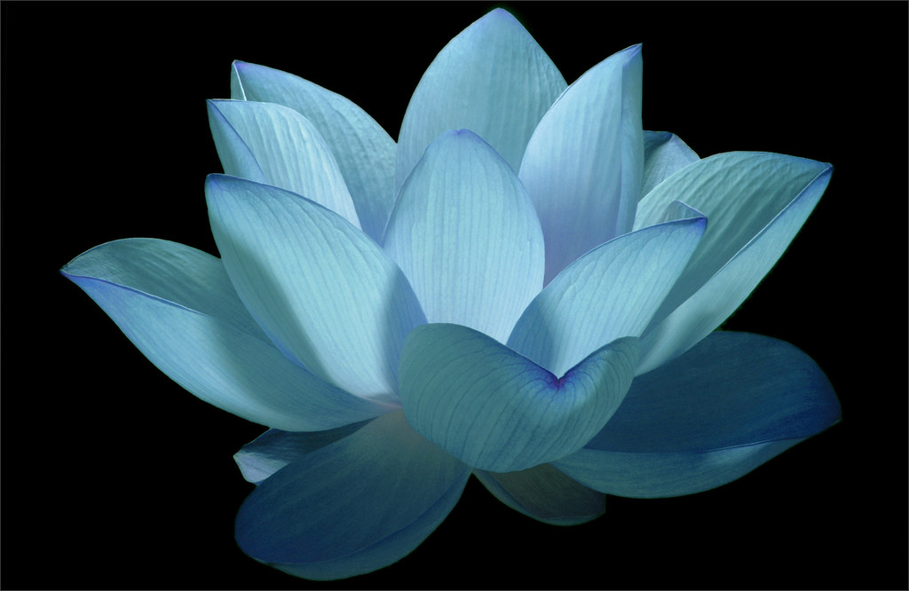 Flower   Blue flower   Lotus Flower   water   lily   water      Flickr     Flower   Blue flower   Lotus Flower   water   lily   water lily