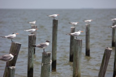 Seagulls gather for rest on dock posts in Dauphin Bay, Ala ...