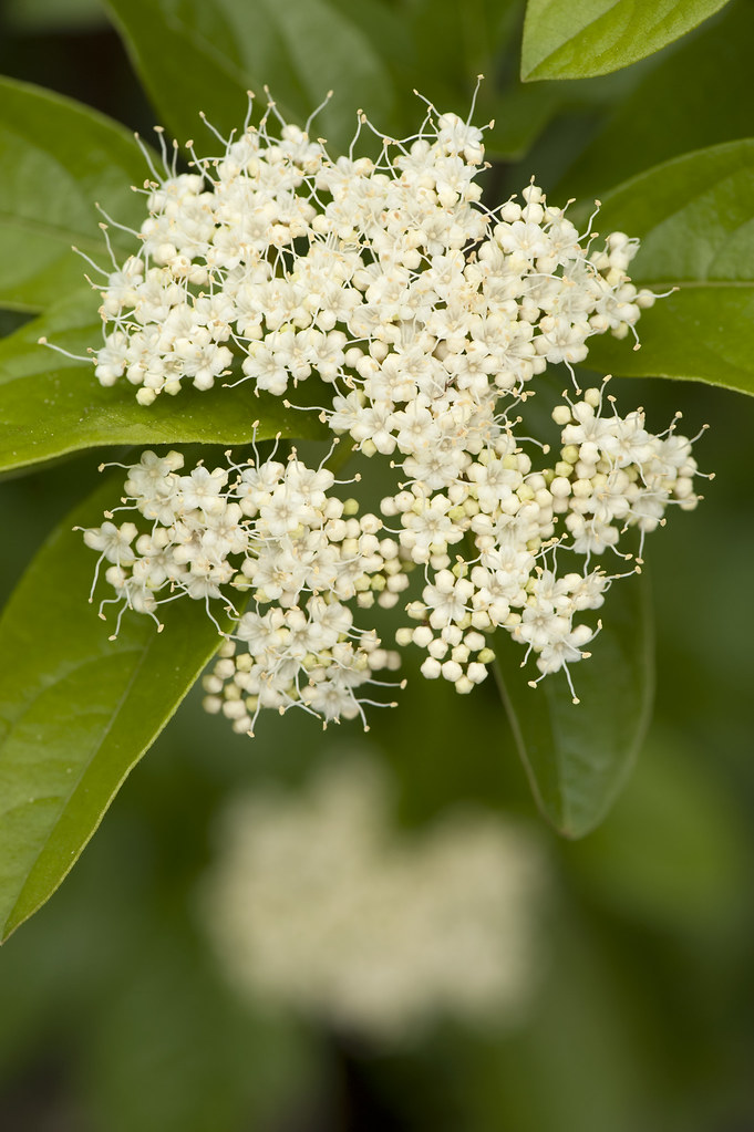 Smooth Witherod Viburnum Viburnum Nudum Winterthur