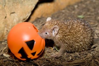 Small Madagascar Hedgehog Tenrec   An adorable Small ...