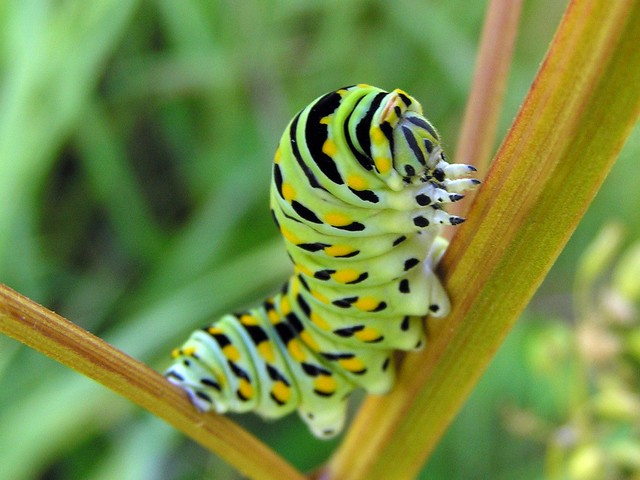 Eastern Black Swallowtail Caterpillar With Its Face Up ...