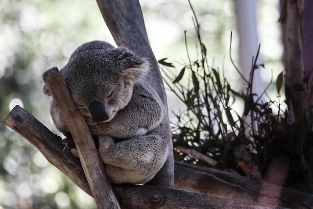 Koala Smile | Flickr - Photo Sharing!