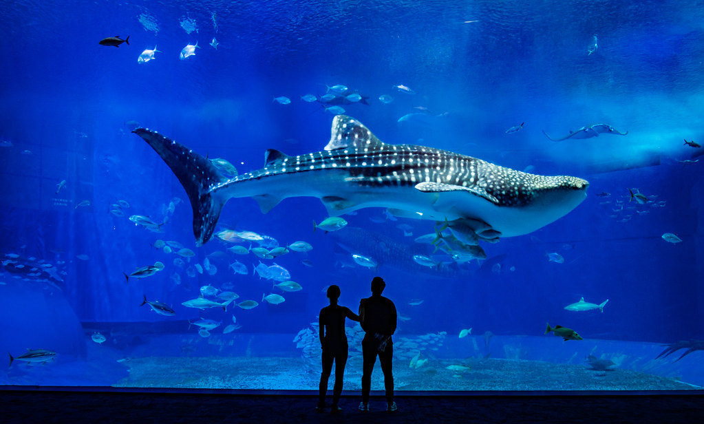 The Whale Shark In Okinawa As Much As I Don T Think Any