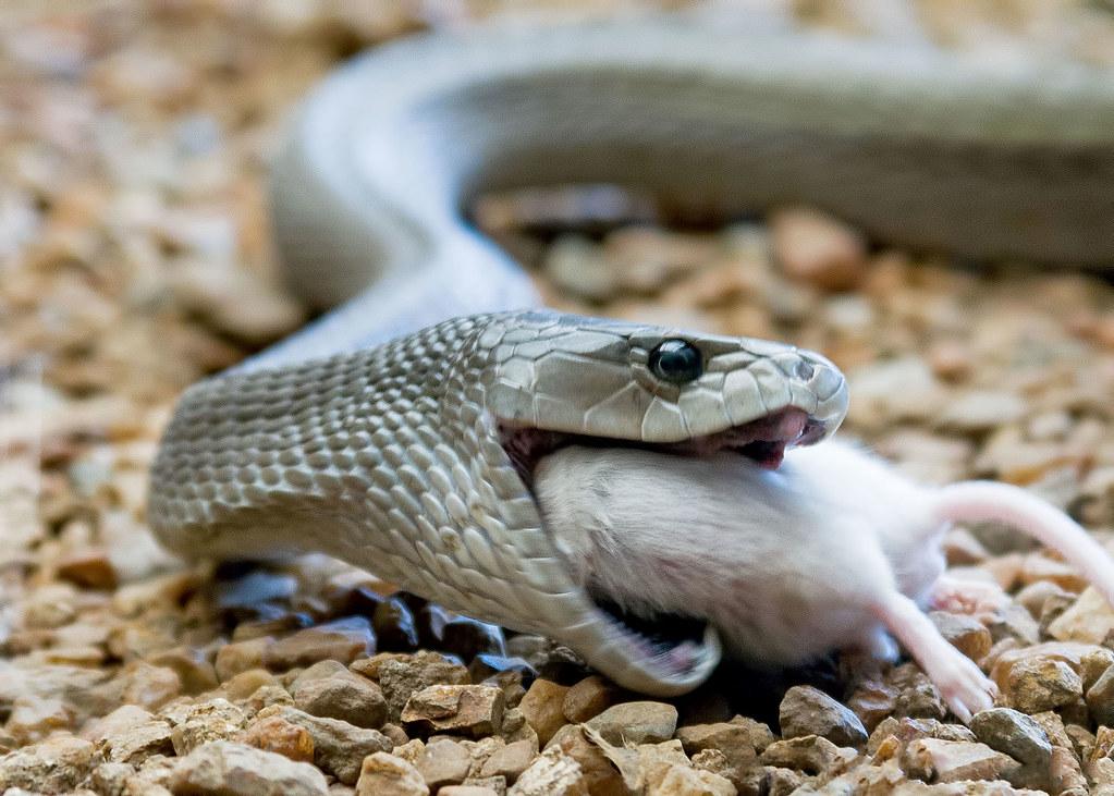 Mamba Snake Black Best Information