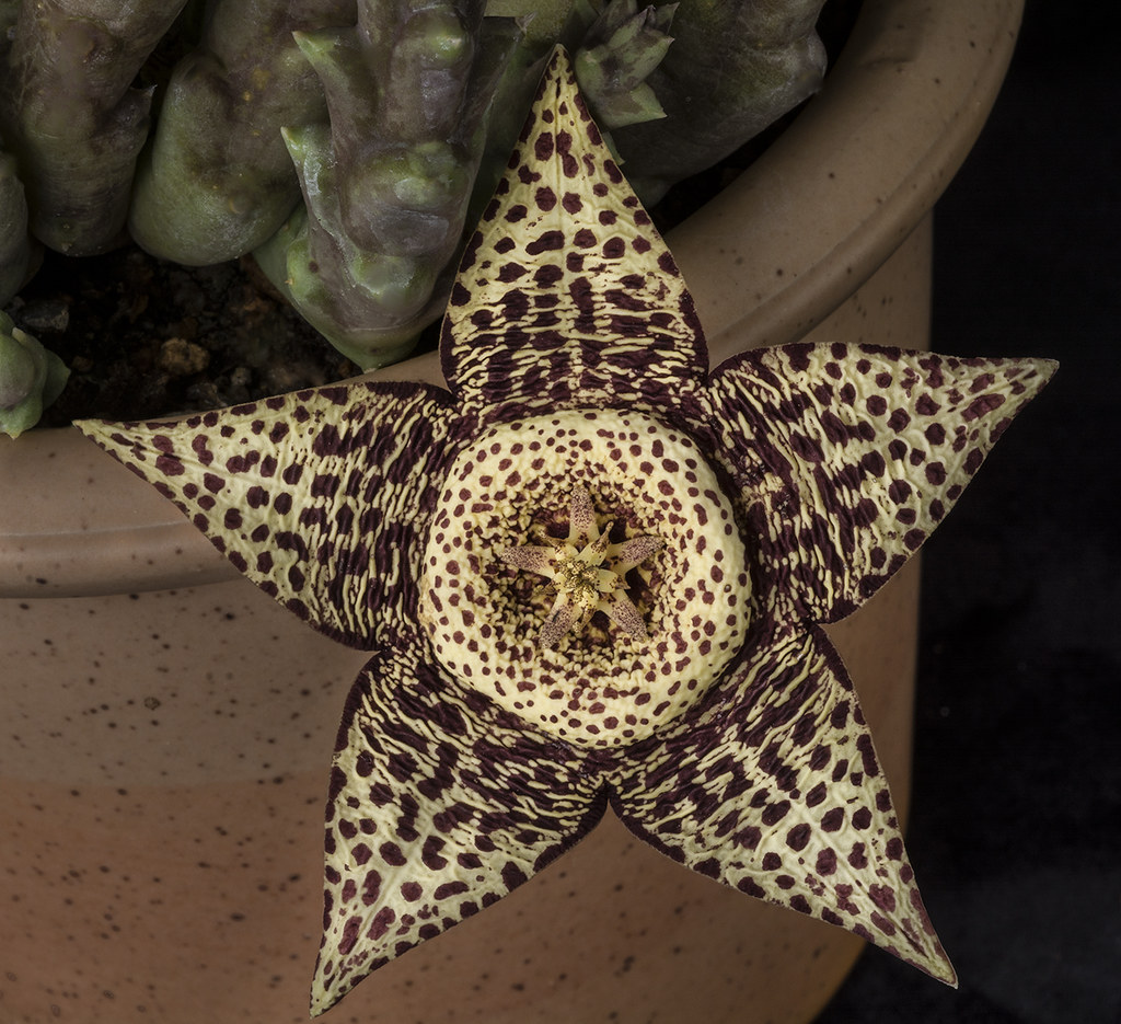 Star Shaped Succulent Flower   This strange and eye catching      Flickr     Star Shaped Succulent Flower   by Bill Gracey 20 Million Views