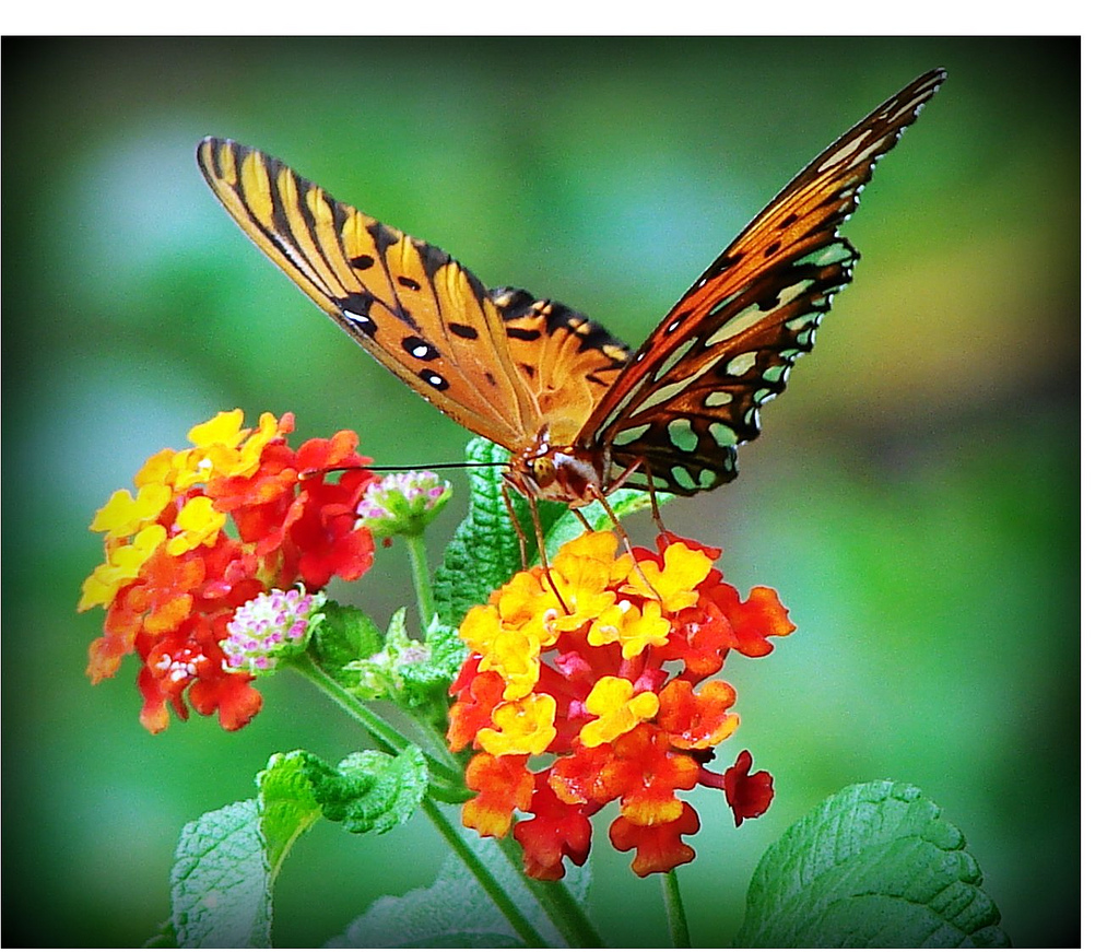 Butterfly Enjoying The Lantana On A Warm Summer Day
