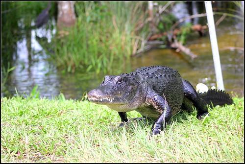 Alligators In Oklahoma Map.Oklahoma Map Alligators