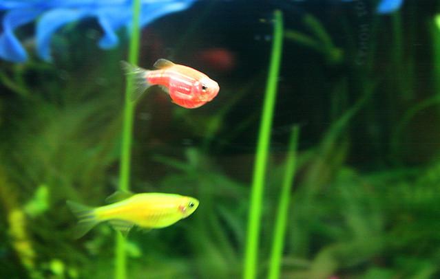 My glofish | Flickr - Photo Sharing!