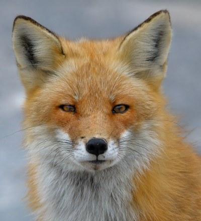 Red Fox ~ Island Beach State Park, NJ ~ Explored 12/6/12 ...