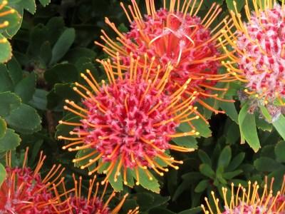 Leucospermum cordifolium (Pincushion Protea) - cultivated ...