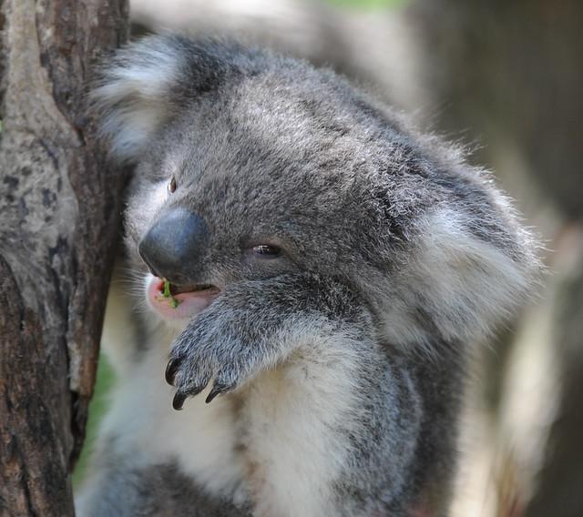 Smiling and Posing Koala - Cut | Flickr - Photo Sharing!