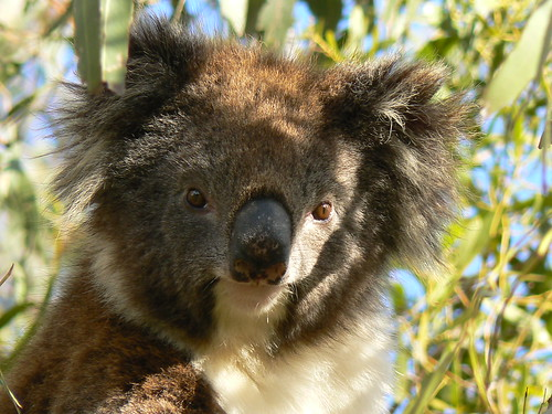 A Wild Smiling Koala is Happy to Pose! | Flickr - Photo ...