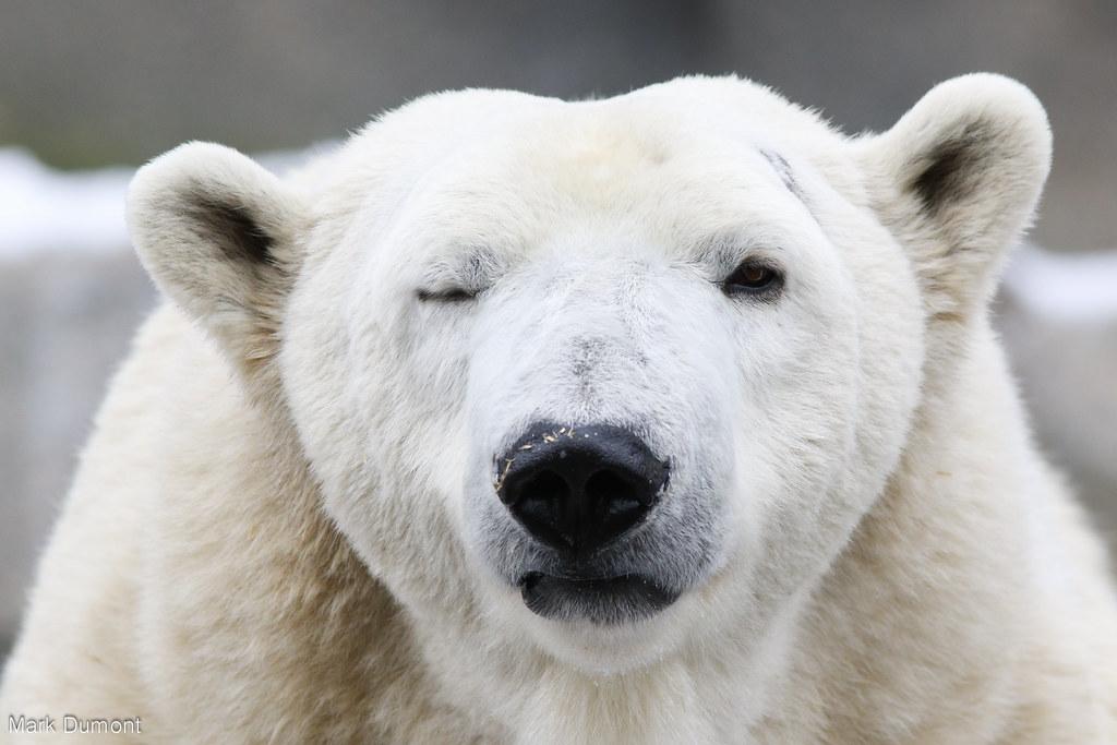 Happy International Polar Bear Day Mark Dumont Flickr