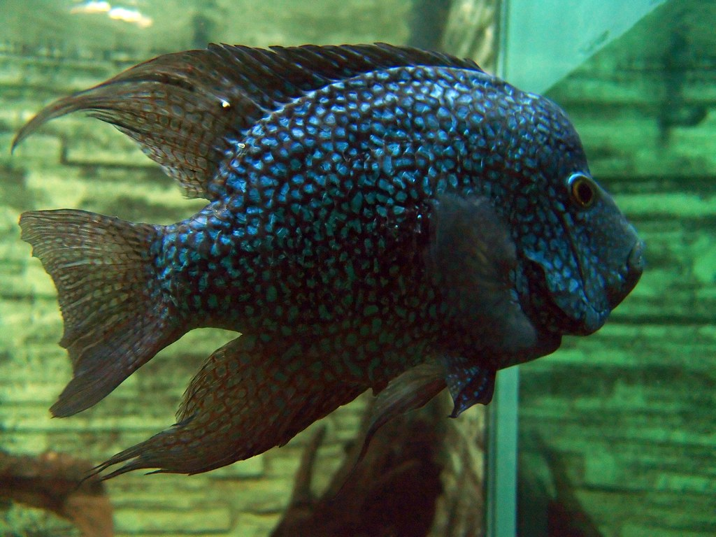 Perlcichlide Perlcichlide Texas Cichlid Herichthys