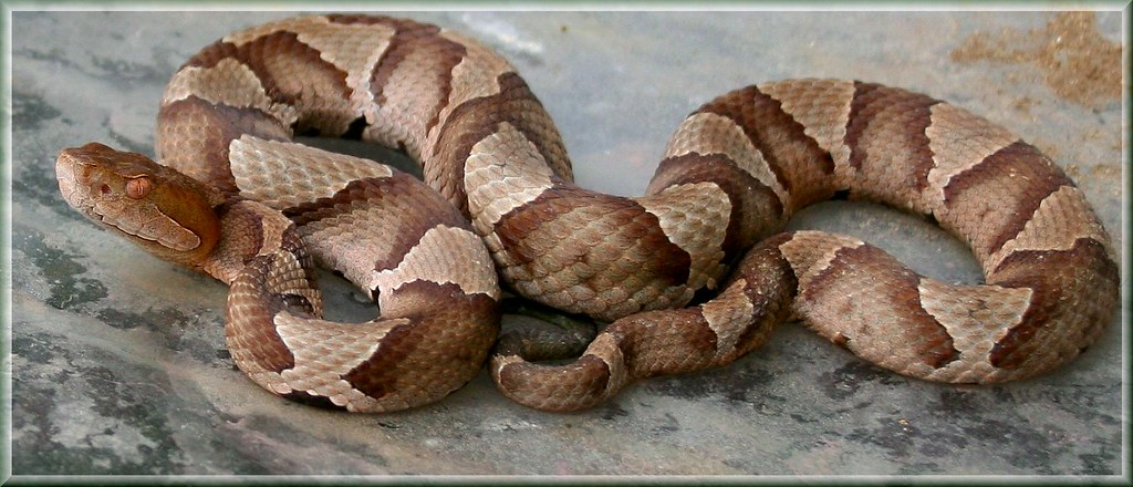 Northern Copperhead Snake - Richmond Virginia - Venomous ...