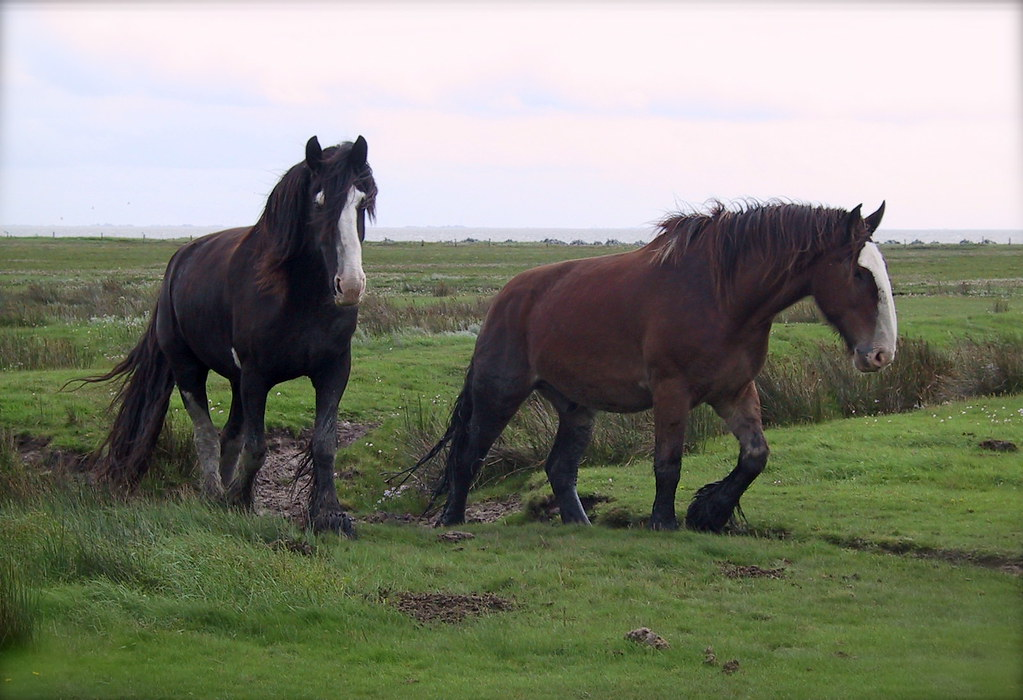 Shire Horses On Juist Found On The Quot Watt Quot Seite Of The
